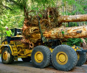Dynamic father-daughter duo, Randy and Jessi Haley, haul large trees with rootwads to the project.