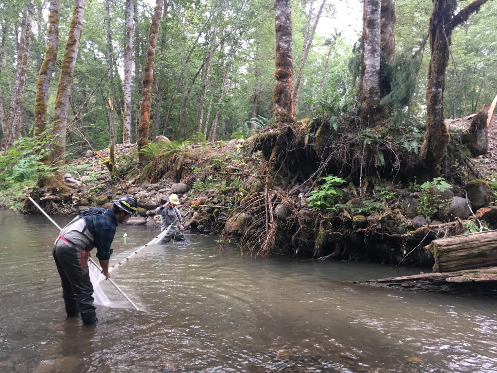 As the stream was diverted, a dozen volunteers joined Forest Service fisheries technicians to capture and identify fish, and then relocate them to safety downstream in the Middle Fork Willamette.